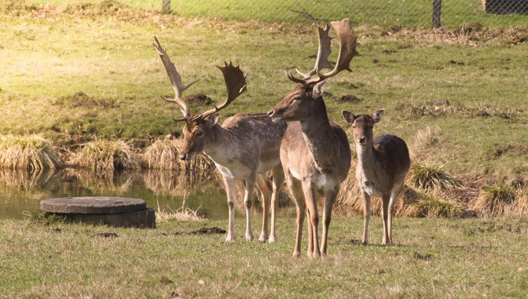 adaptations-deer