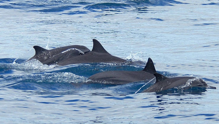 adaptations-dolphins