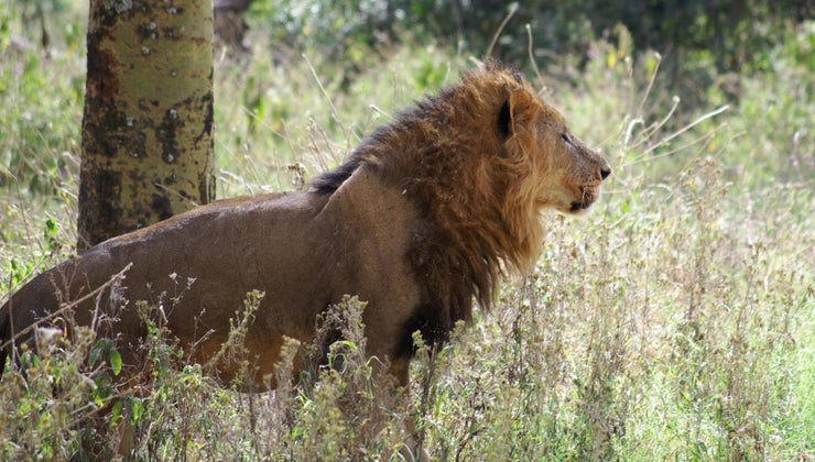 african-lions-eat