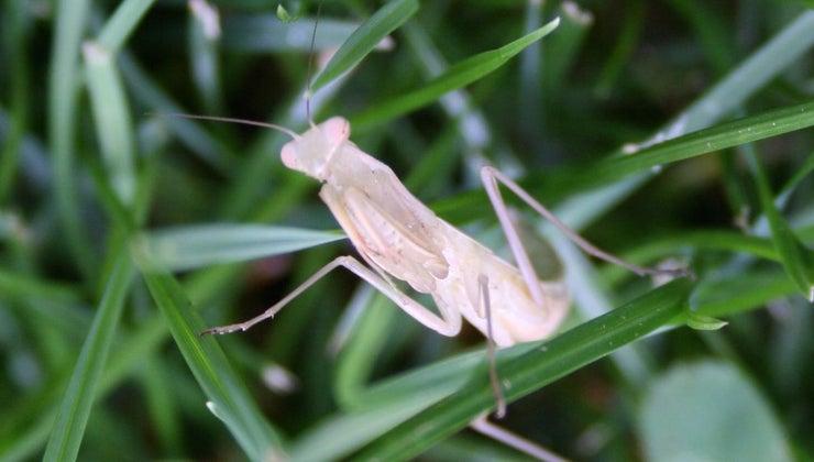 albino-praying-mantis