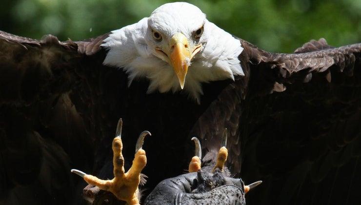 animal-eats-eagle