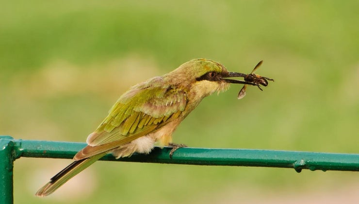 animals-eat-bees
