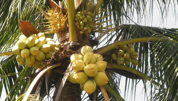 animals-eat-coconuts