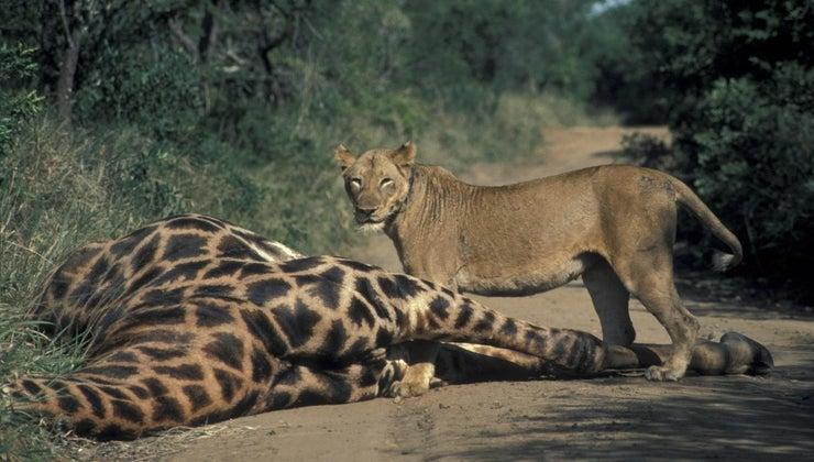 animals-eat-giraffes