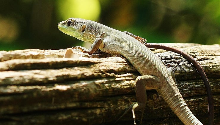 animals-eat-lizards