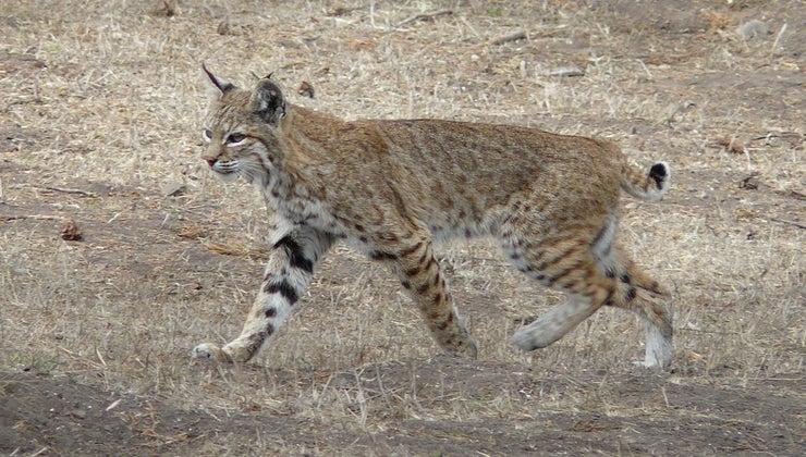 animals-natural-predators-bobcat