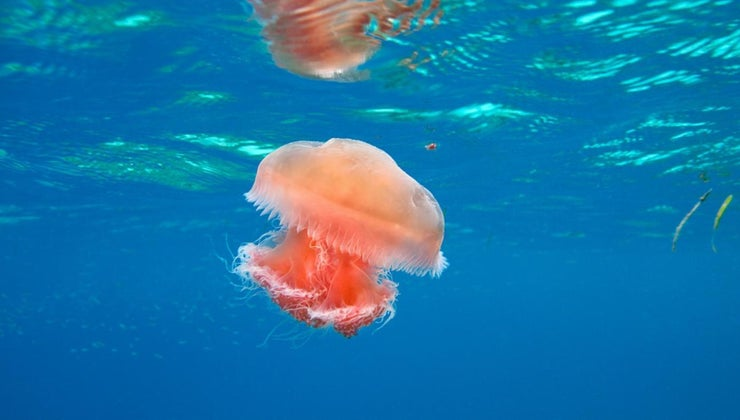 jellyfish-carnivores-herbivores-omnivores