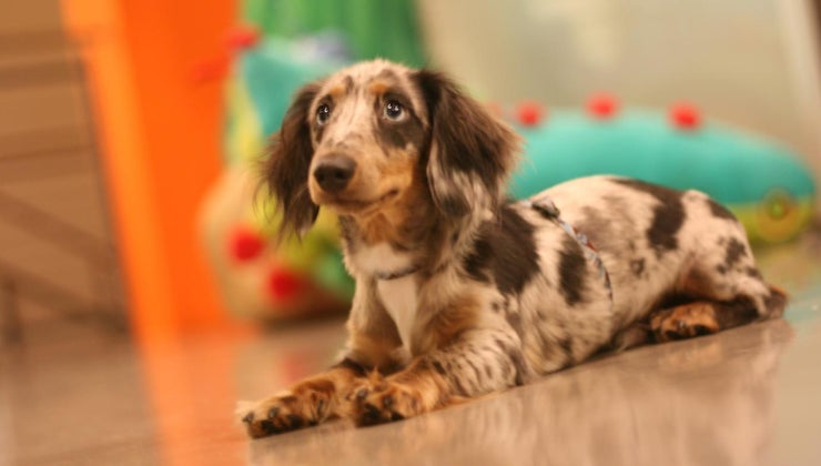 average-price-dapple-dachshund-puppy