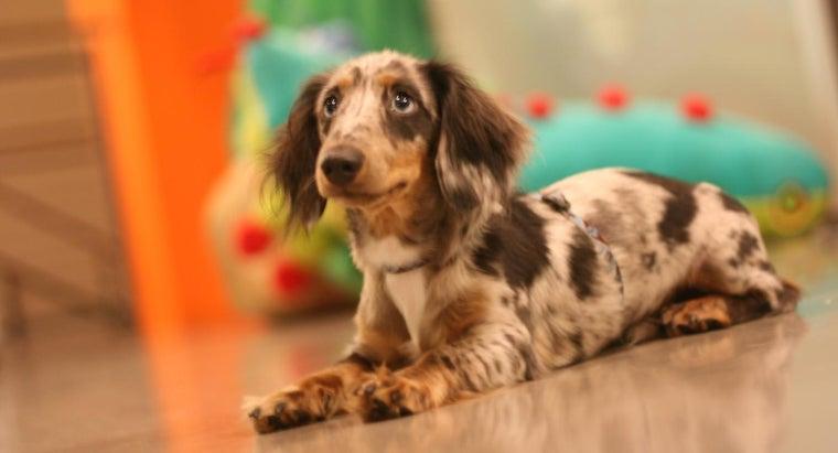 average-price-dapple-dachshund-puppy