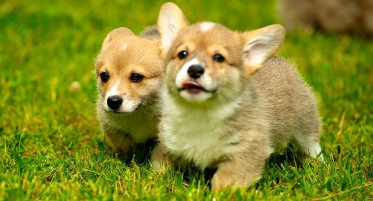 average-price-welsh-corgi-puppy