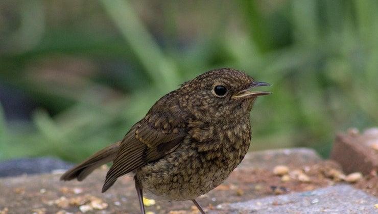 baby-birds-learn-fly