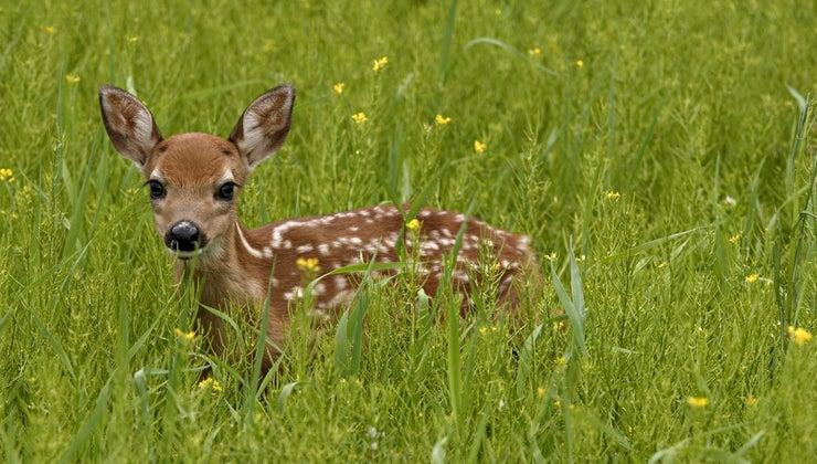 baby-deer-eat