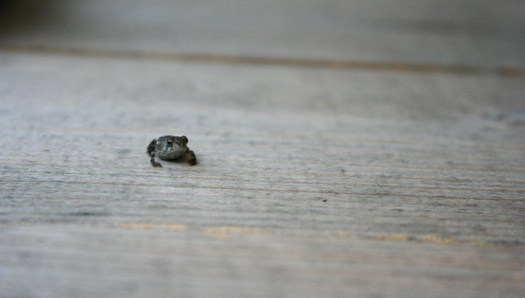 baby-frog-called