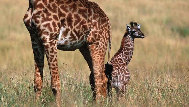 baby-giraffes-called