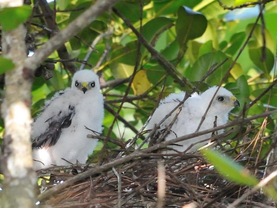 What Is A Baby Hawk Called