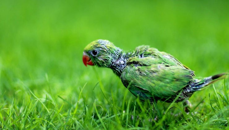 baby-parrot-called
