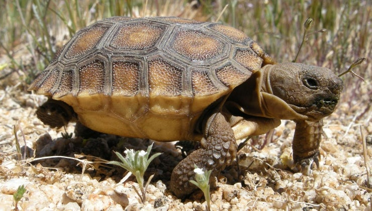 baby-tortoise-called