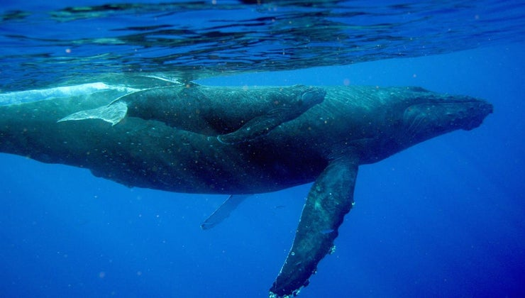 baby-whales-drink-milk-mothers