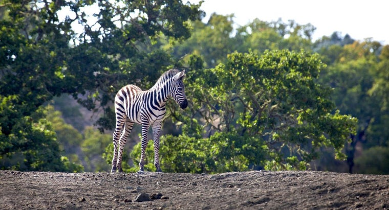 baby-zebra-called