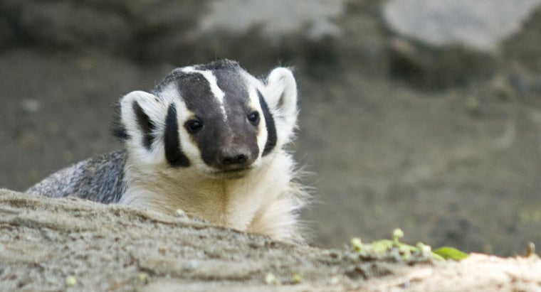 badgers-eat