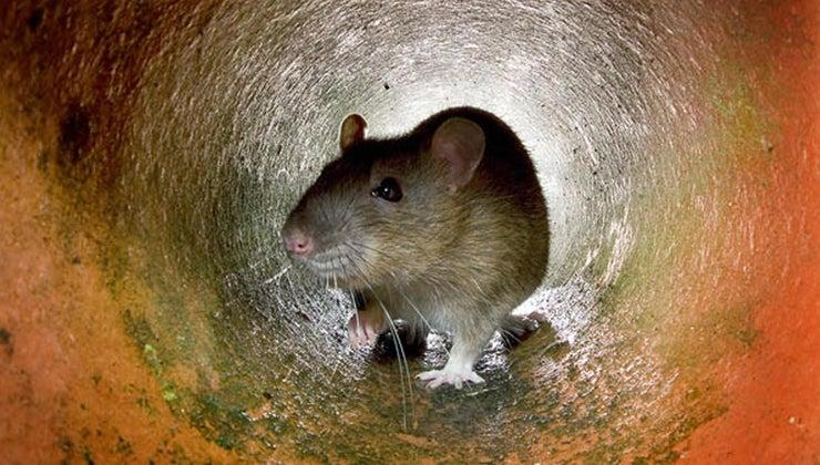 bait-catch-rat