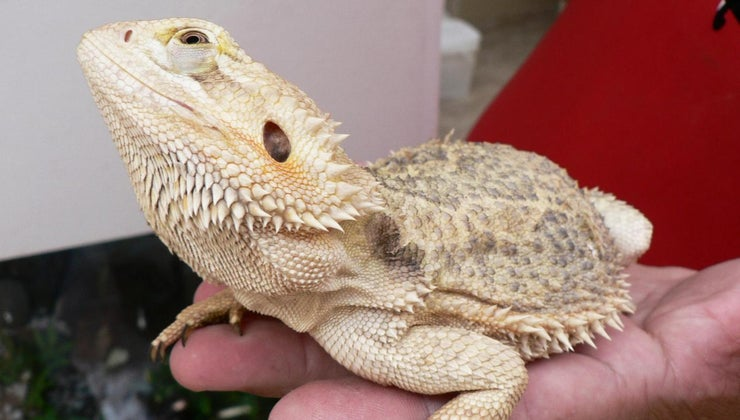 bearded-dragon-eating