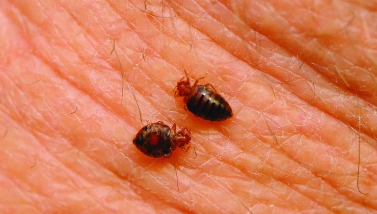 bedbugs-spread
