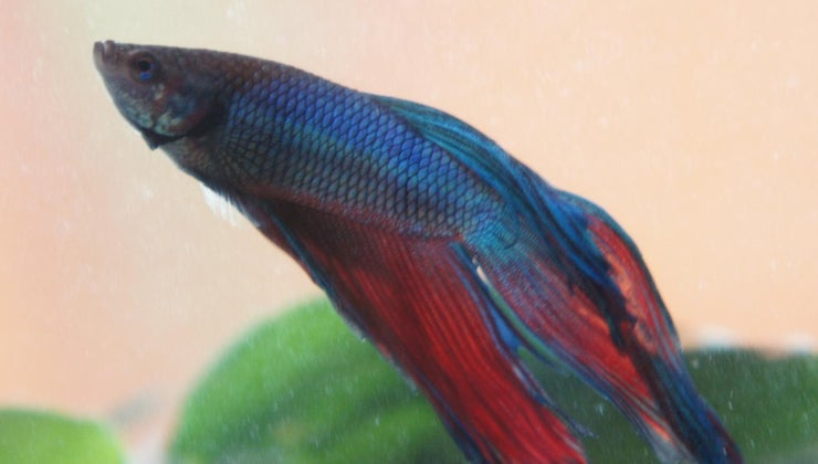 betta-fish-floating-its-side