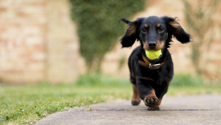 big-dachshunds