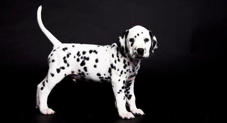 big-miniature-dalmatians