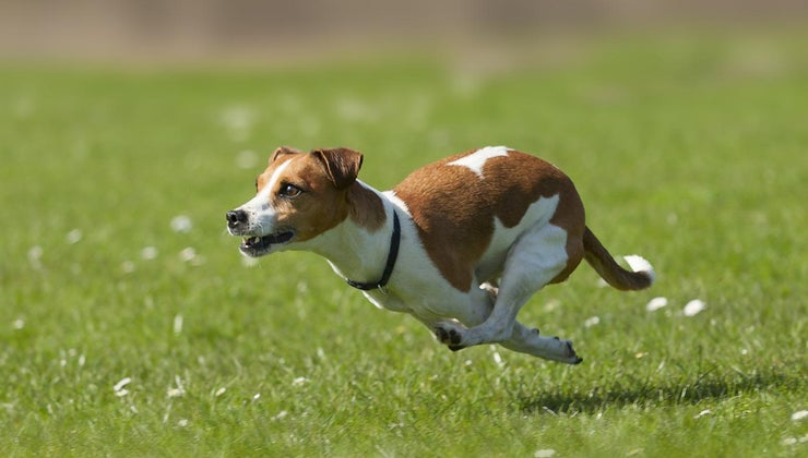 big-miniature-jack-russell-dogs