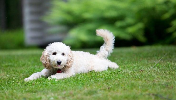 big-miniature-poodles