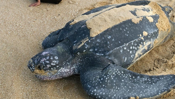 biggest-turtle-ever-recorded