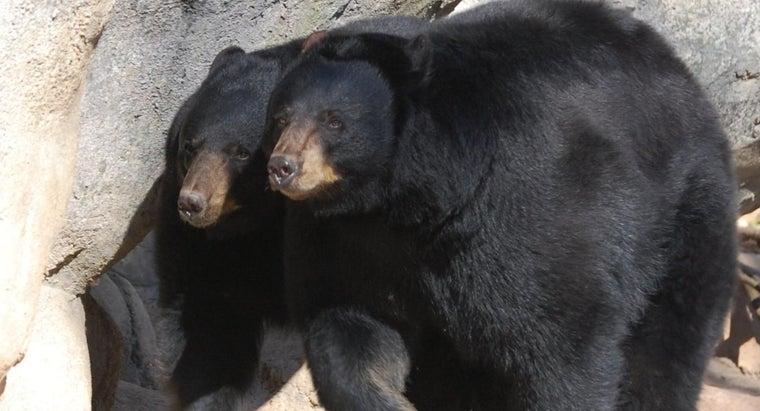 black-bears-look-like