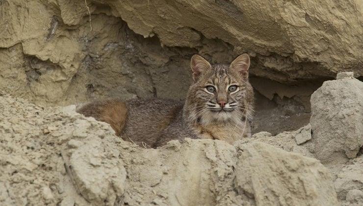 bobcats-eat
