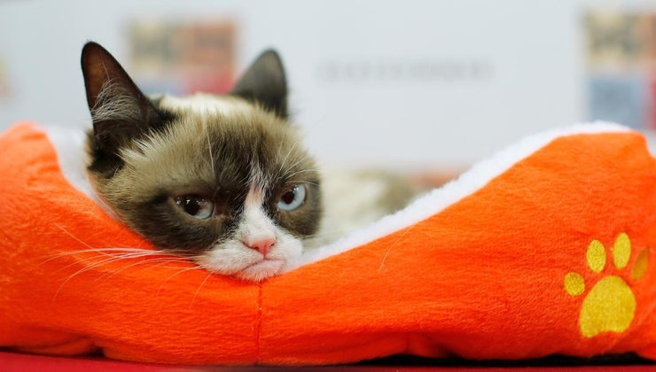 breed-cat-grumpy-cat