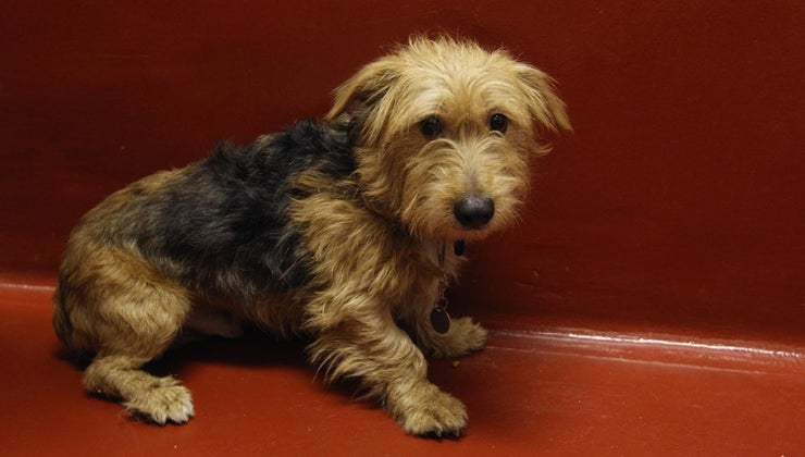 breed-dog-benji