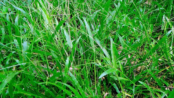 broadleaf-grass
