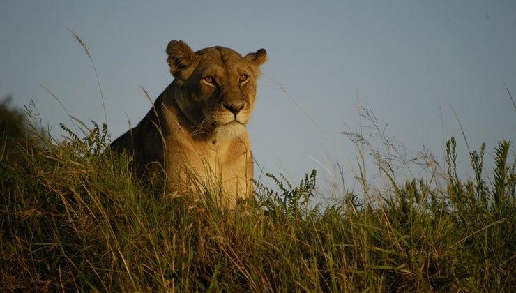 call-female-lion