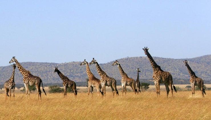 call-group-giraffes
