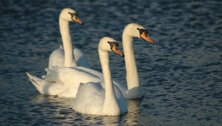 call-group-swans