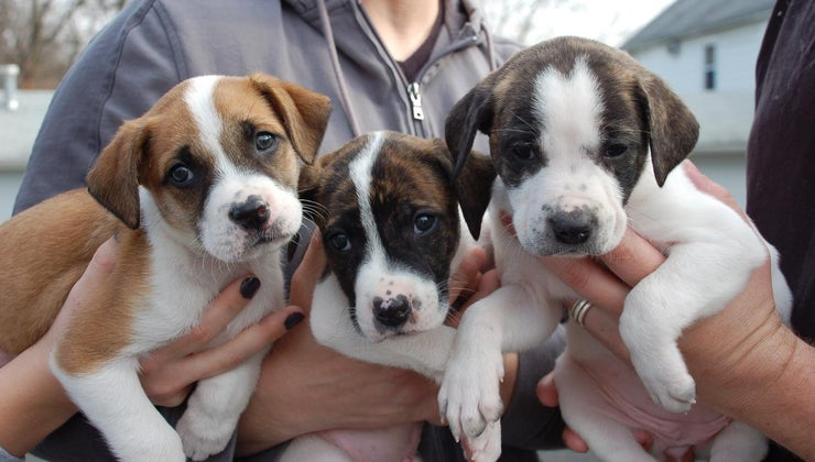 can-adopt-dogs-through-pit-bulls-parolees-program