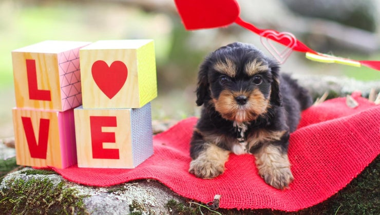can-adopt-rescued-cavapoo