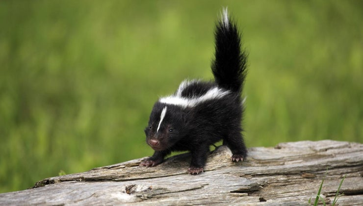 can-baby-skunks-spray