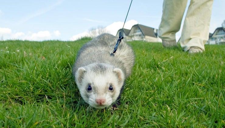 can-buy-ferret-online