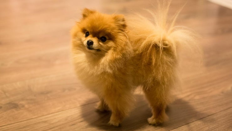 can-cheap-teacup-pomeranian-puppies-sale-online