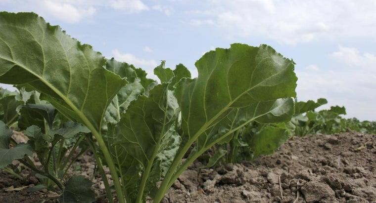 can-eat-sugar-beets