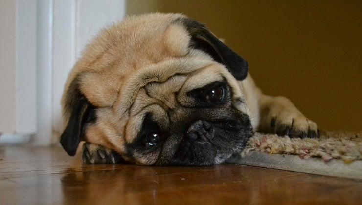 can-give-dog-pepto-bismol-upset-stomach