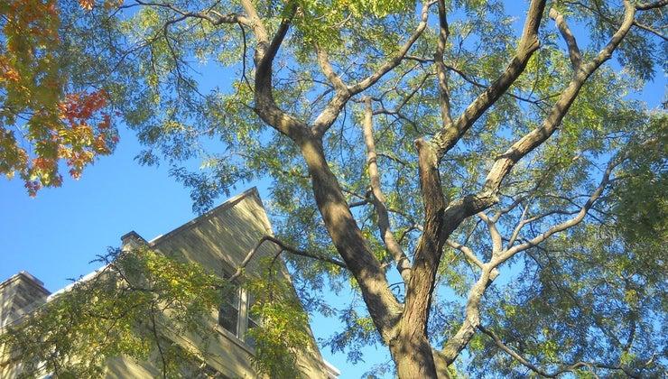 can-identify-locust-tree