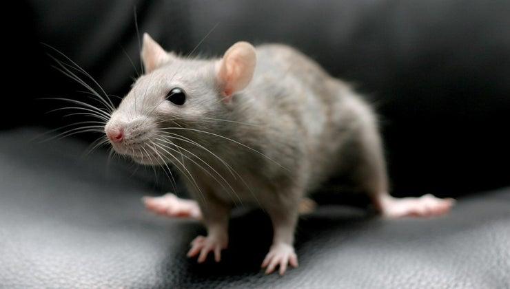 can-kill-rats-baking-soda